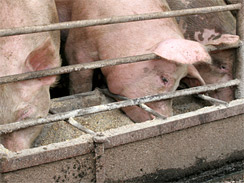 FDA Ordered To Limit Antibiotic Use In Livestock